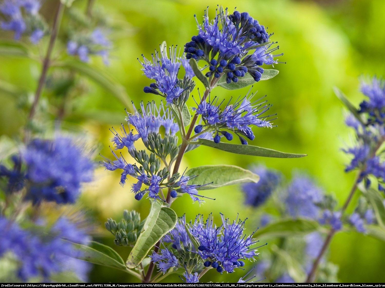 Barbula klandonska heavenly blue - caryopteris clandonensis haevenly blue