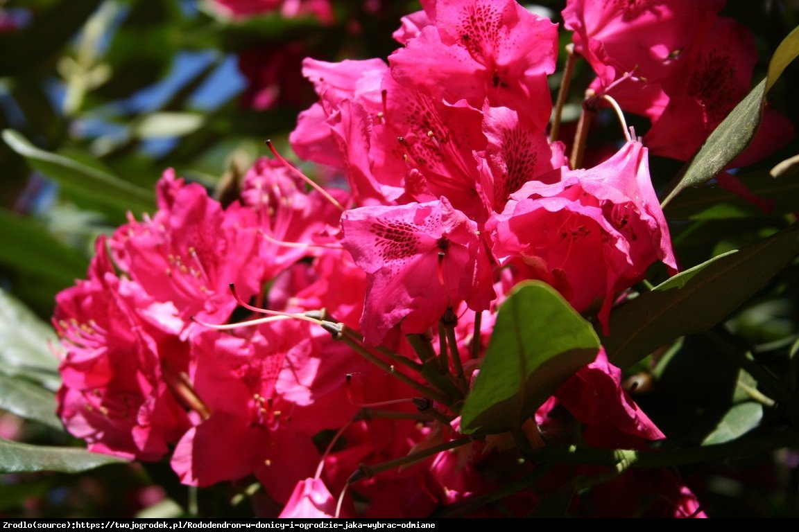 Różanecznik Tarragona - Rododendron Tarragona