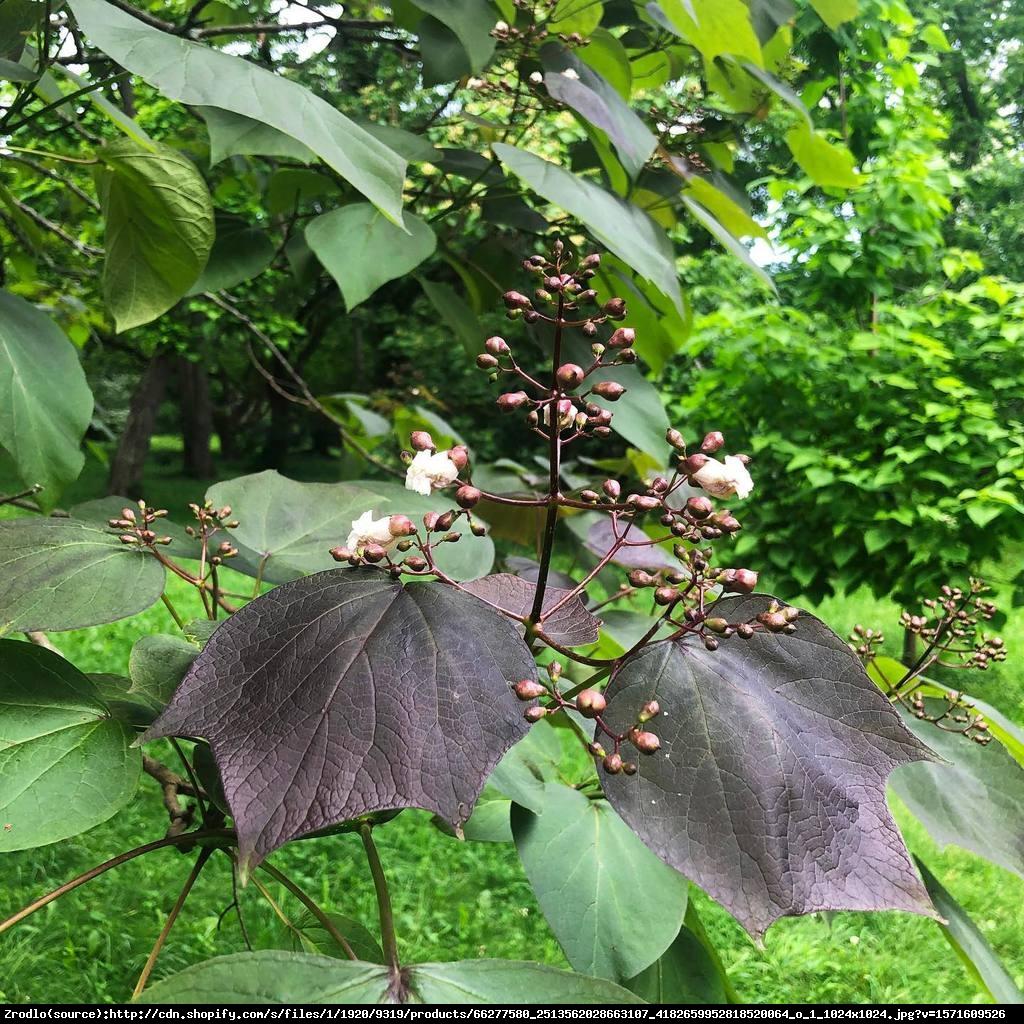 Surmia pośrednia purpurea - catalpa erubescens purpurea