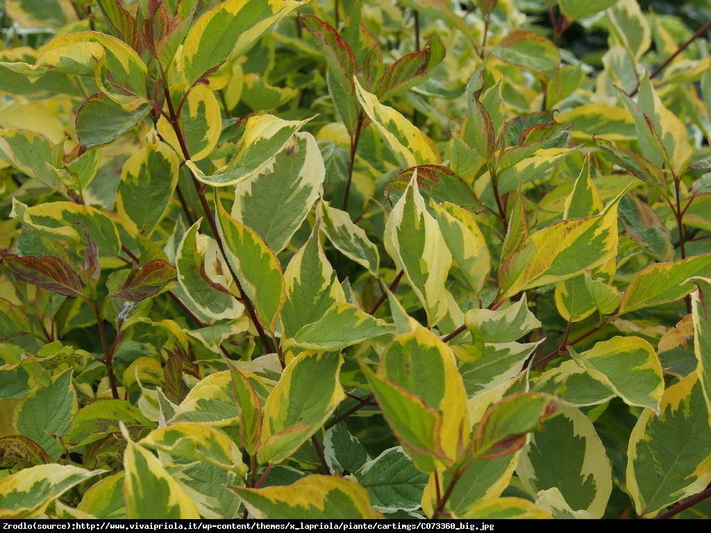 Dereń biały gouchaultii - cornus alba gouchaultii