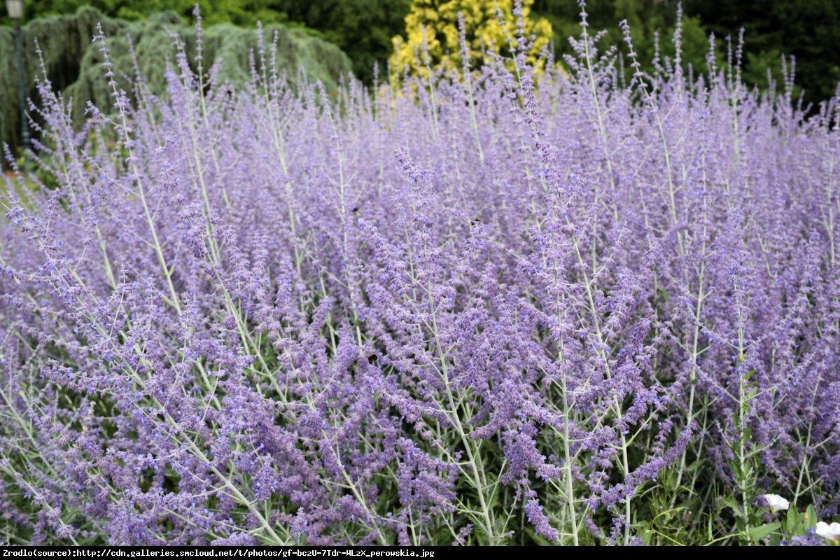 Perowskia łobodolistna lacey blue - perovskia atriplicifolia lacey blue