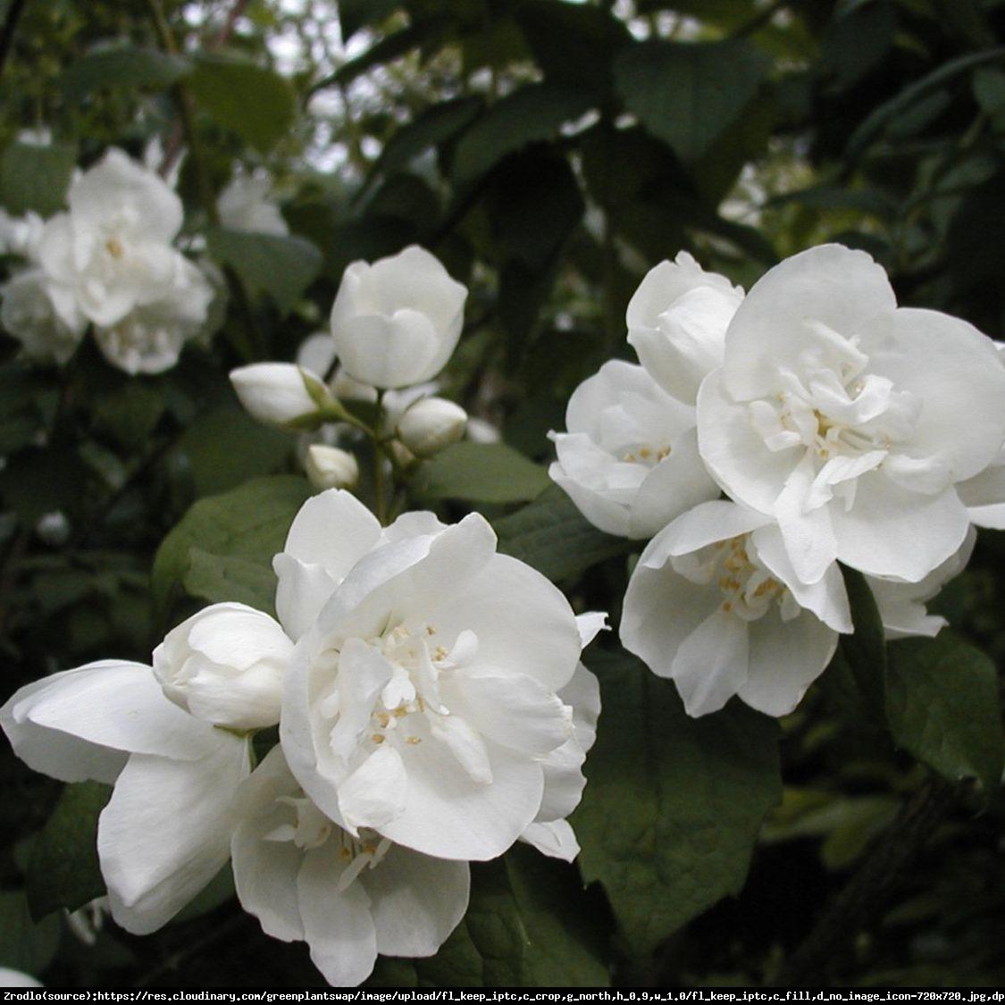 jaśminowiec dame blanche - philadelphus dame blanche