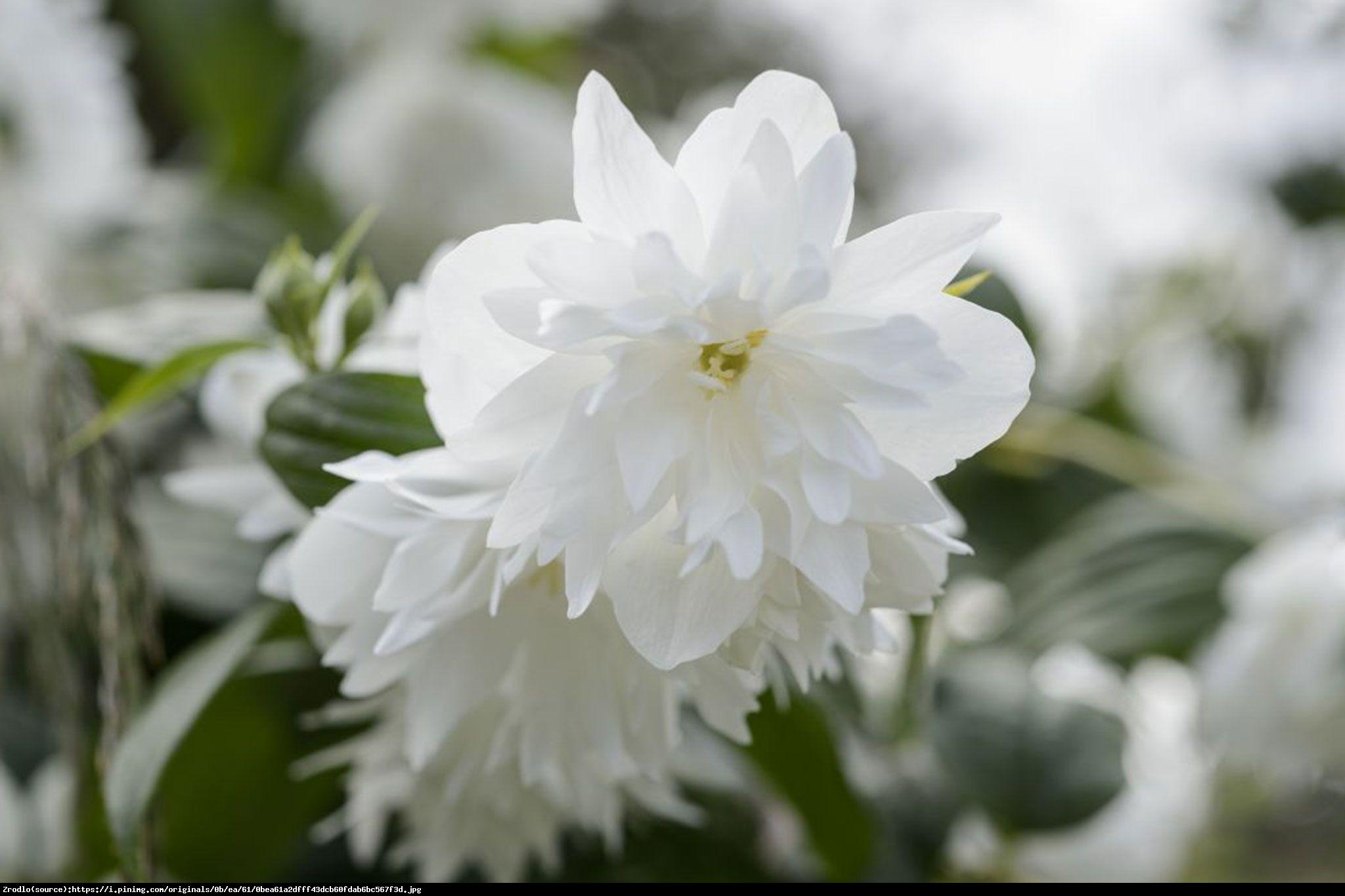 Jaśminowiec minnesota snowflake - philadelphus minnesota snowflake