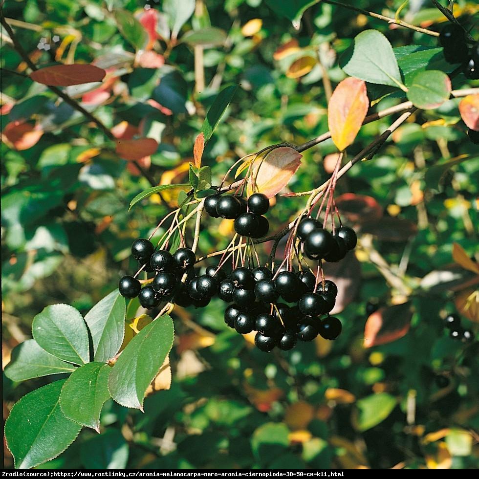 Aronia czarnoowocowa Nero - Aronia melanocarpa Nero