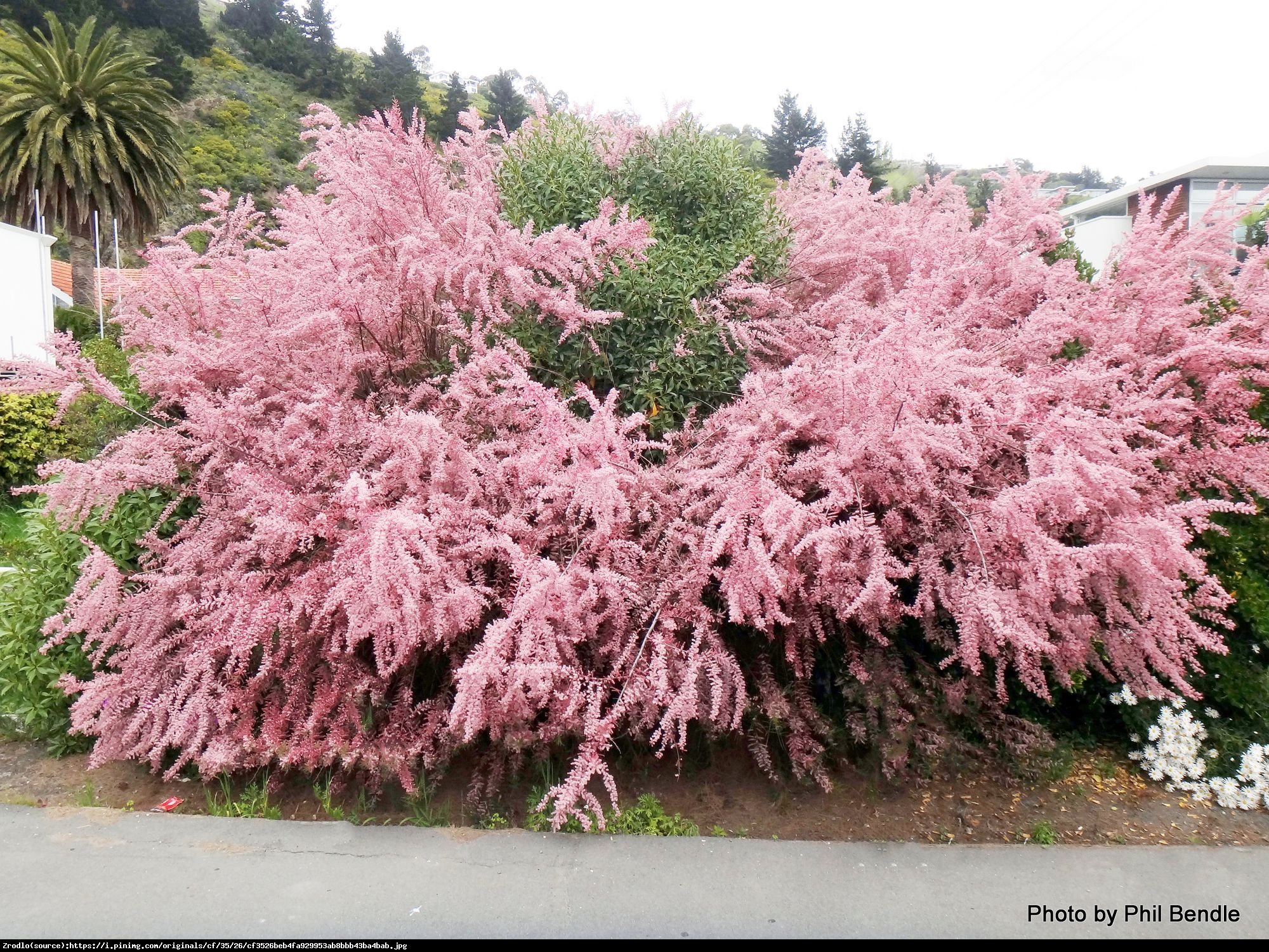 tamaryszek piecioprecikowy pink cascade - Tamarix ramosissima Pink Cascade