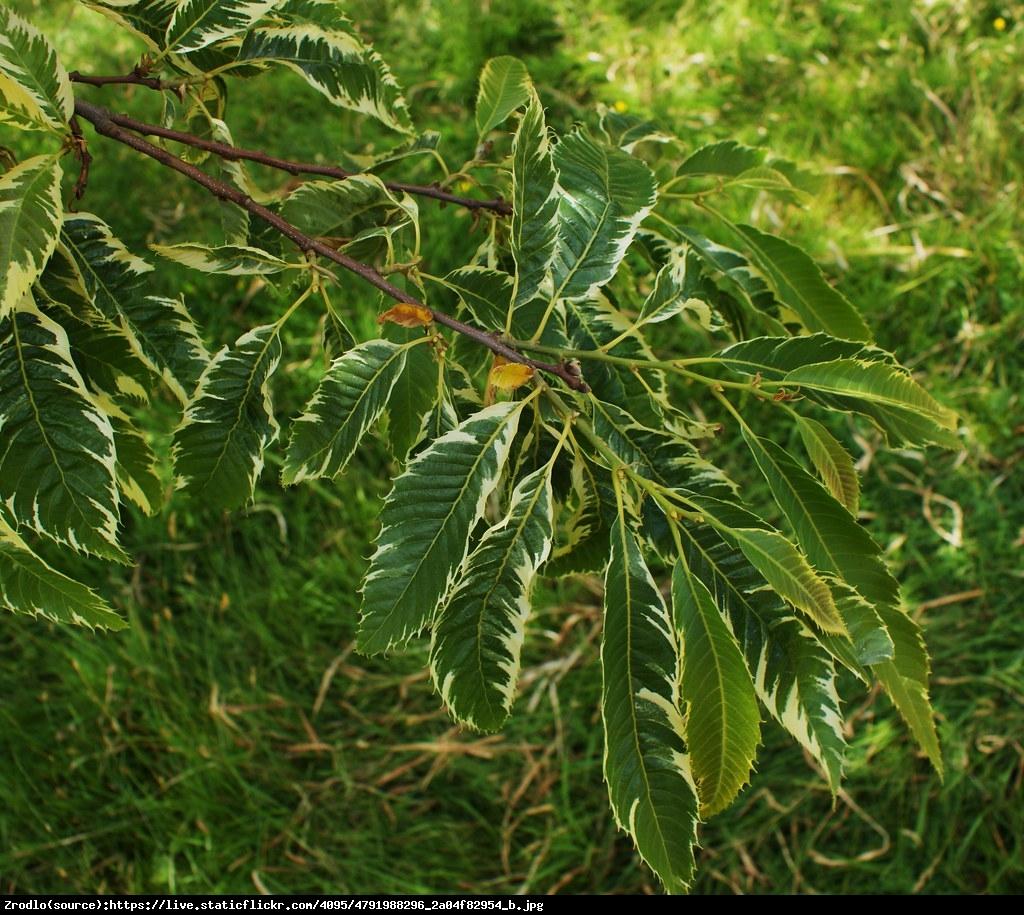 kasztan jadalny variegata - Castanea sativa Variegata