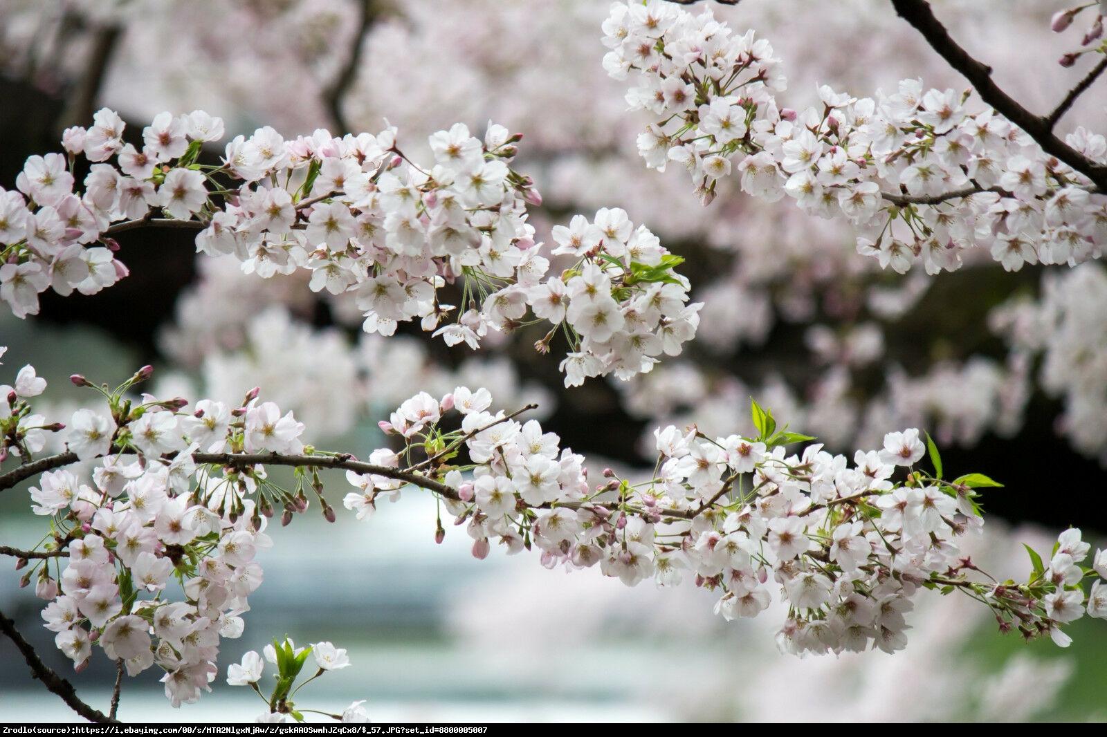wisnia nipponska brillant - Prunus nipponica Brillant