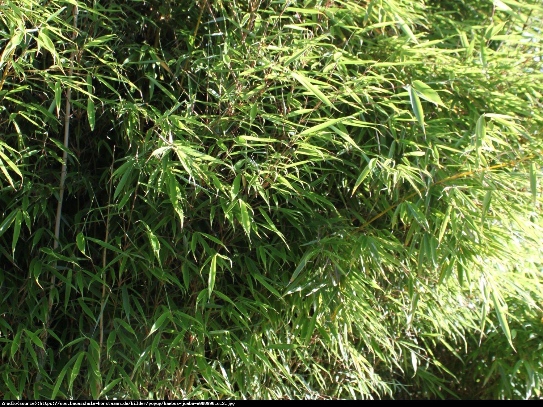 Bambus Jumbo - Fargesia Murielae Jumbo