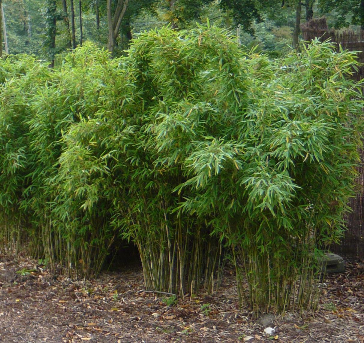 bambus simba fargesia murielae simba. Black Bedroom Furniture Sets. Home Design Ideas