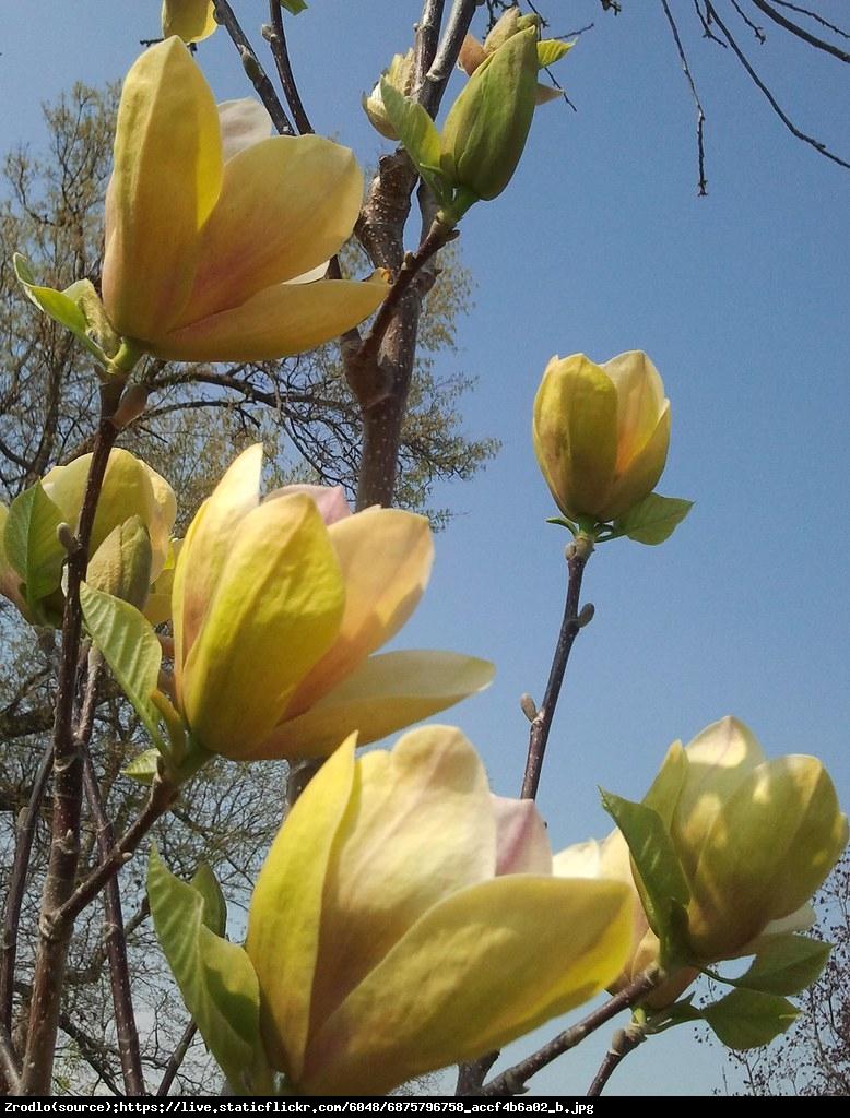 magnolia duża Sunsation - Magnolia Sunsation