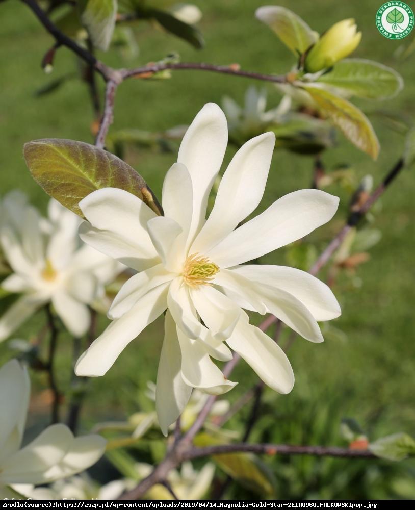 Magnolia duża Gold star - Magnolia Gold star