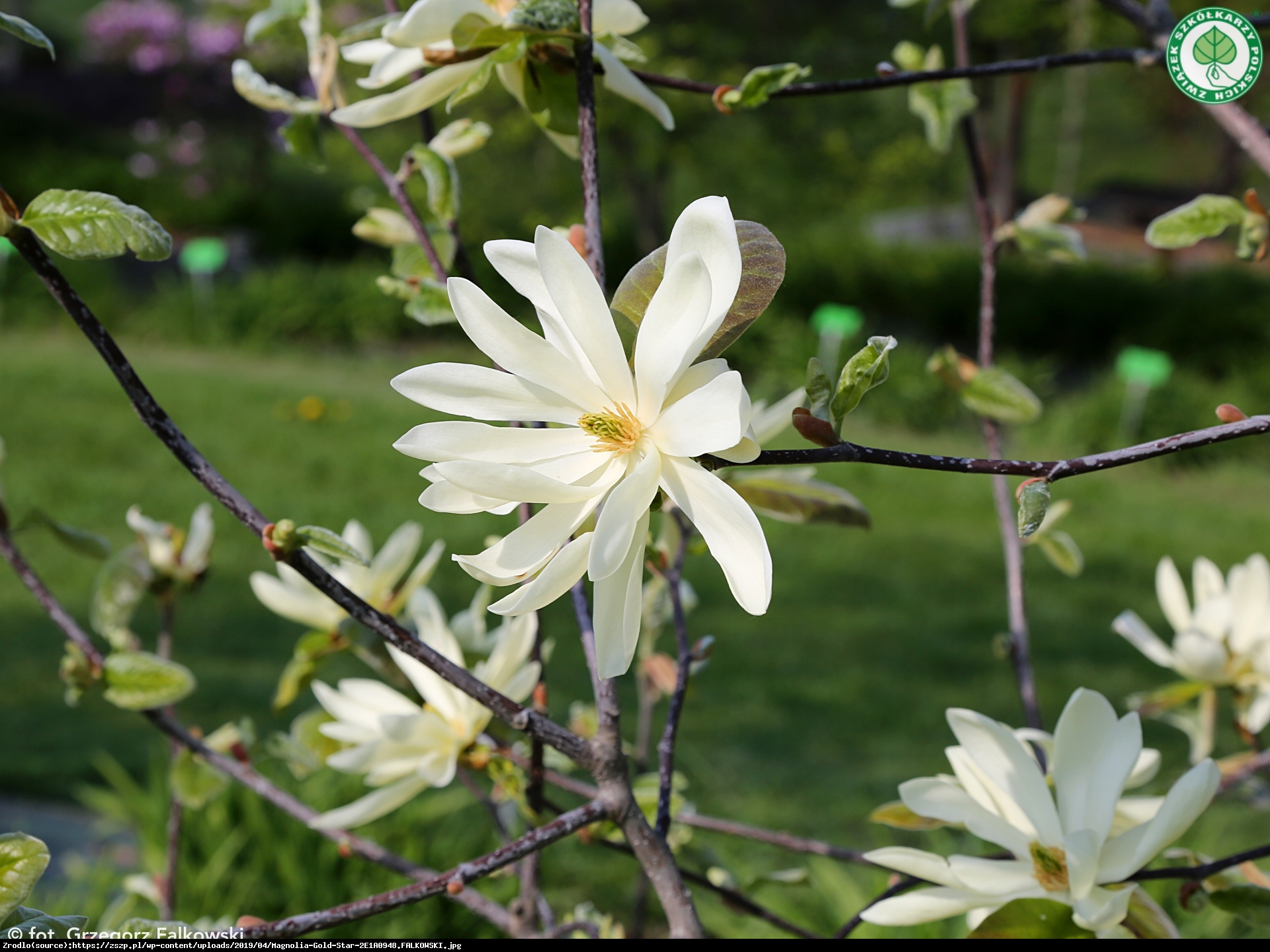 Magnolia duża Gold star - Magnolia Gold star