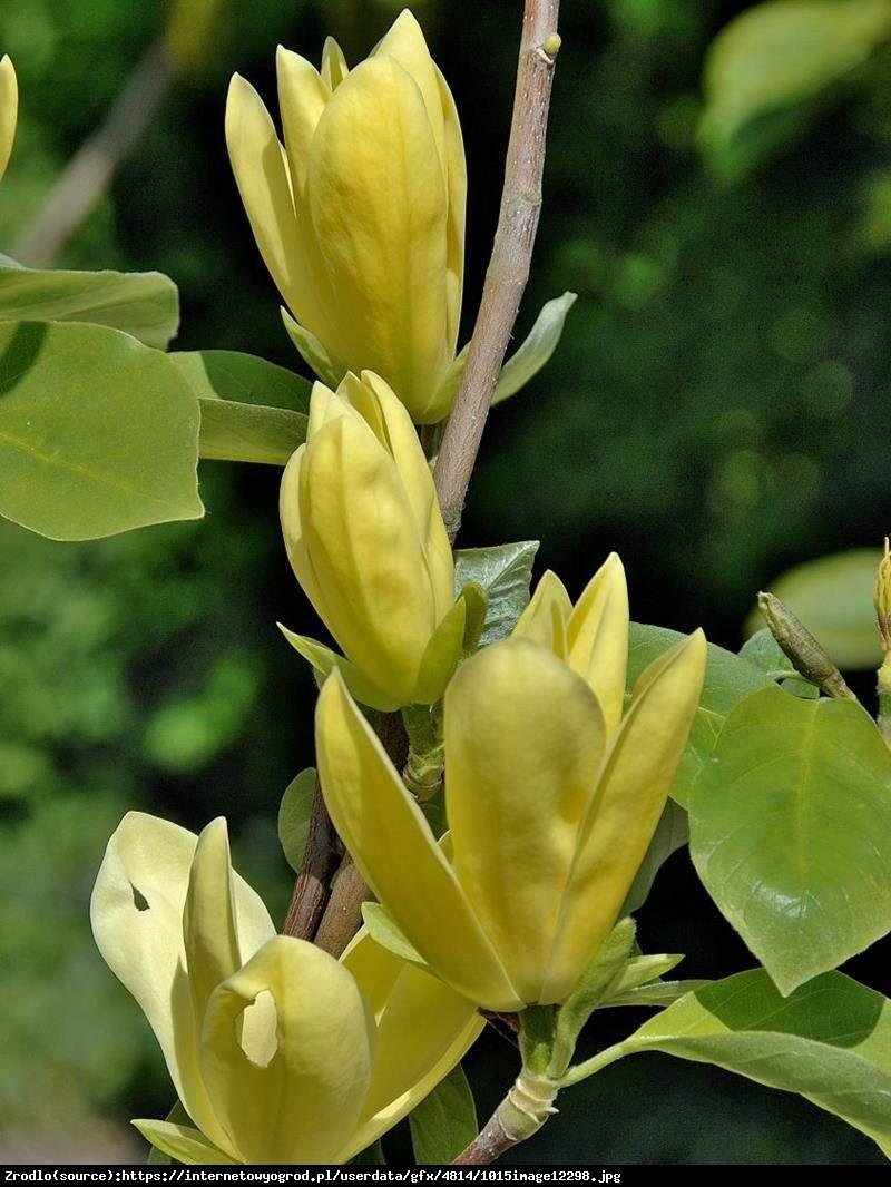 Magnolia duża Daphne - Magnolia Daphne