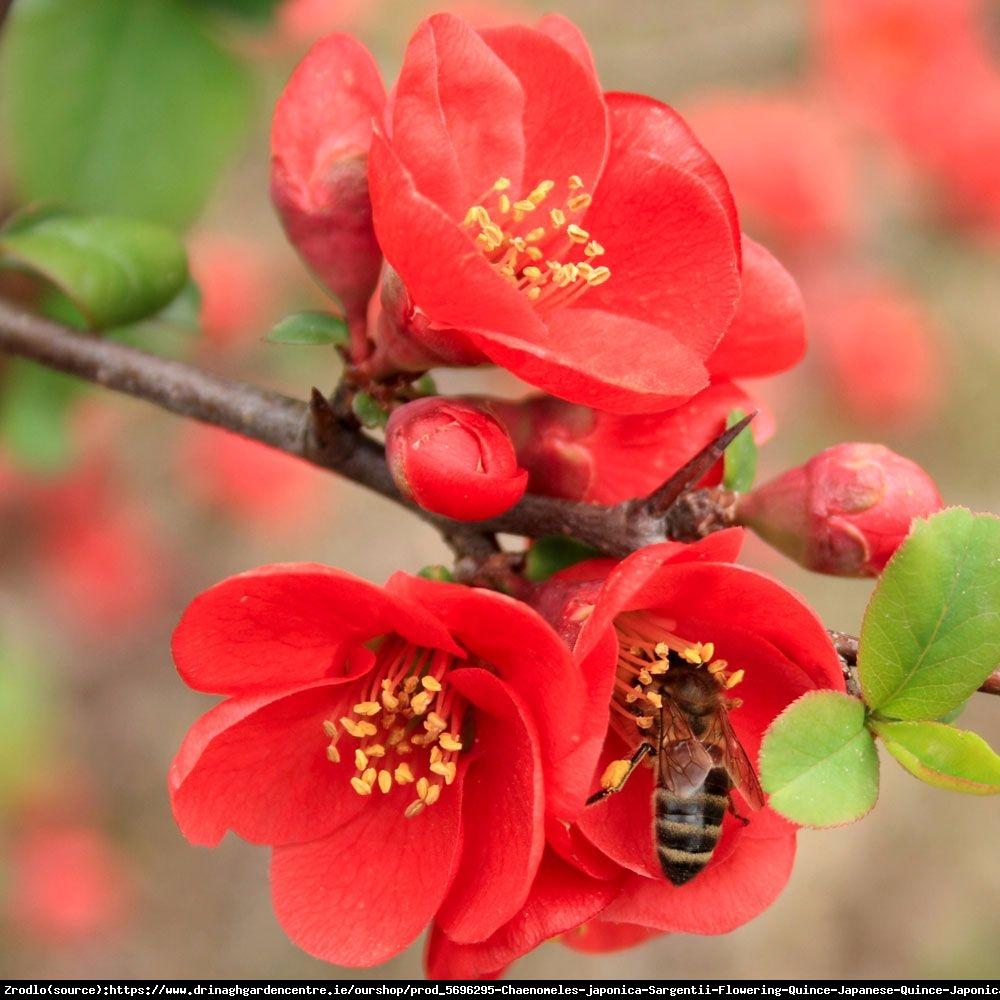 Pigwowiec japo ski sargentii chaenomeles japonica sargentii for Arbustos perennes para jardin