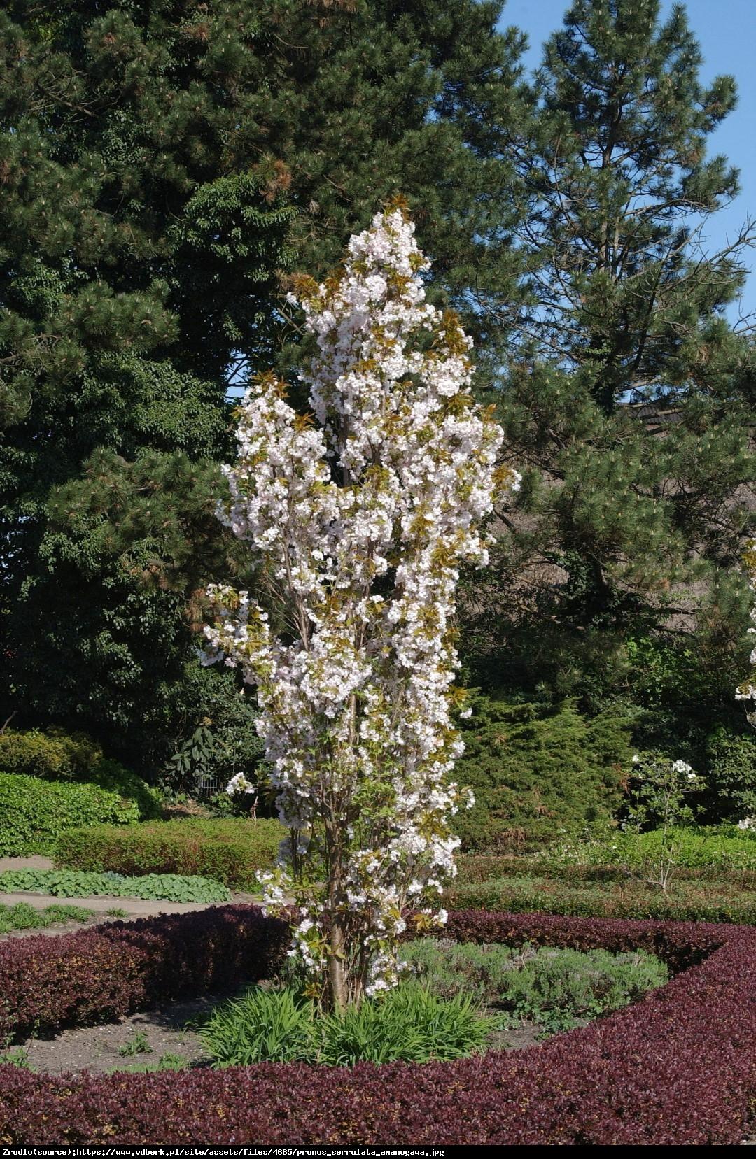 Wiśnia piłkowana Amonagawa - Prunus serrulata Amonagawa