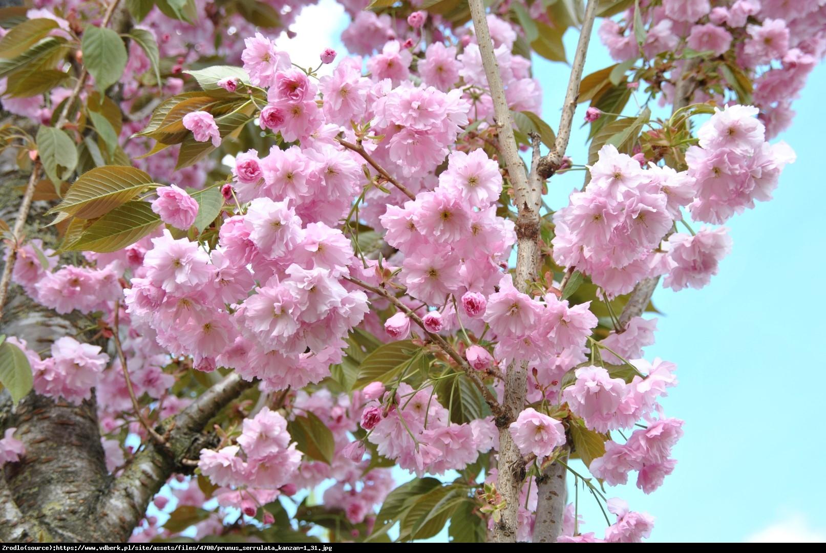 Wiśnia piłkowana Kanzan - Prunus serrulata Kanzan