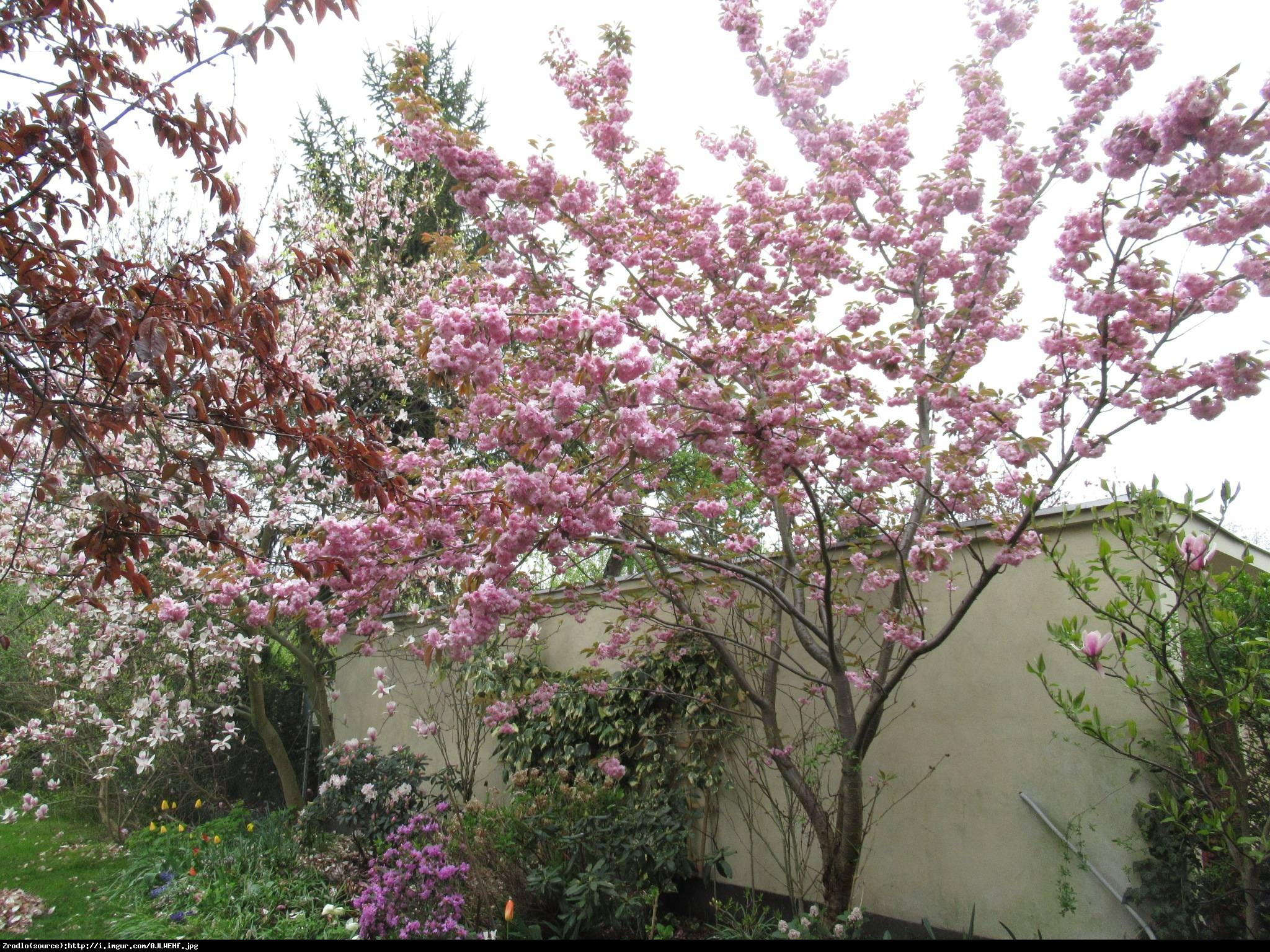Wiśnia piłkowana kikushidare-zakura - Prunus serrulata kiku-shidare-zakura