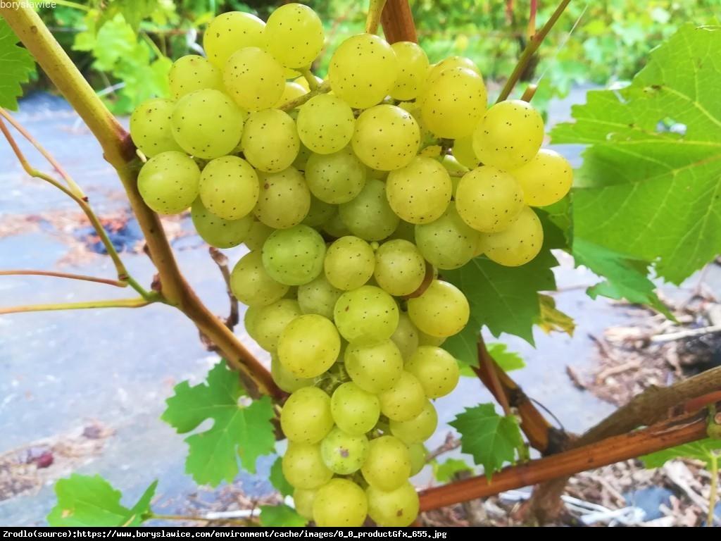 Winorośl Winogrono Prim - Vitis Prim