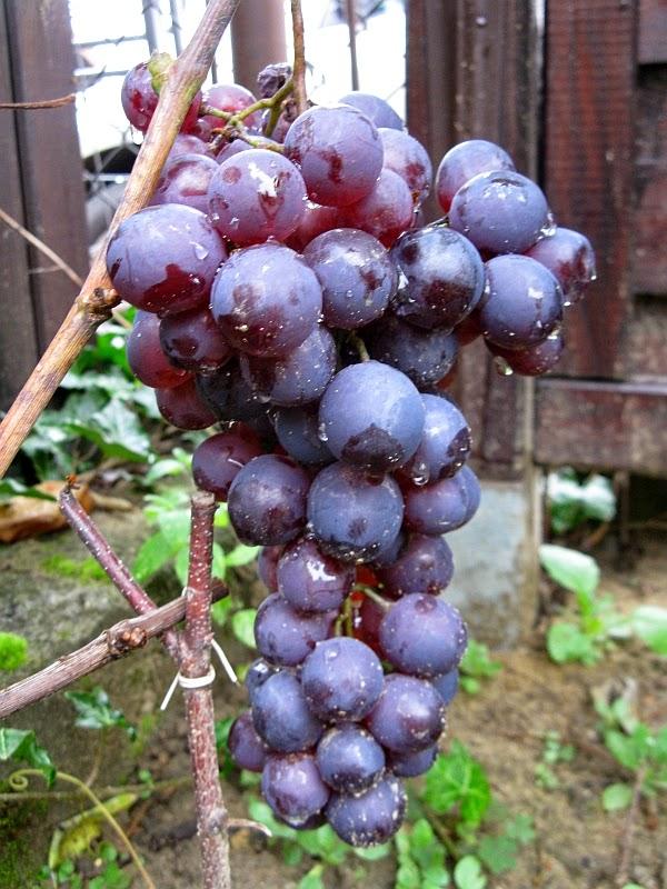 Winorośl winogrono kryzownikowyj - Vitis kryzownikowyj