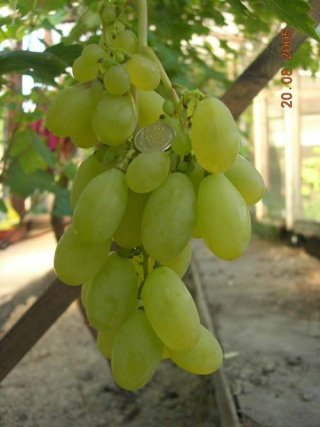 Winorośl Winogrono super wczesny bułgar - Vitis
