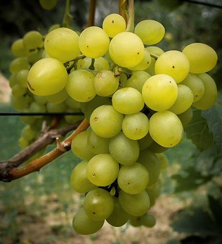 Winorośl Winogrono super wczesny bułgar - Vitis bułgar