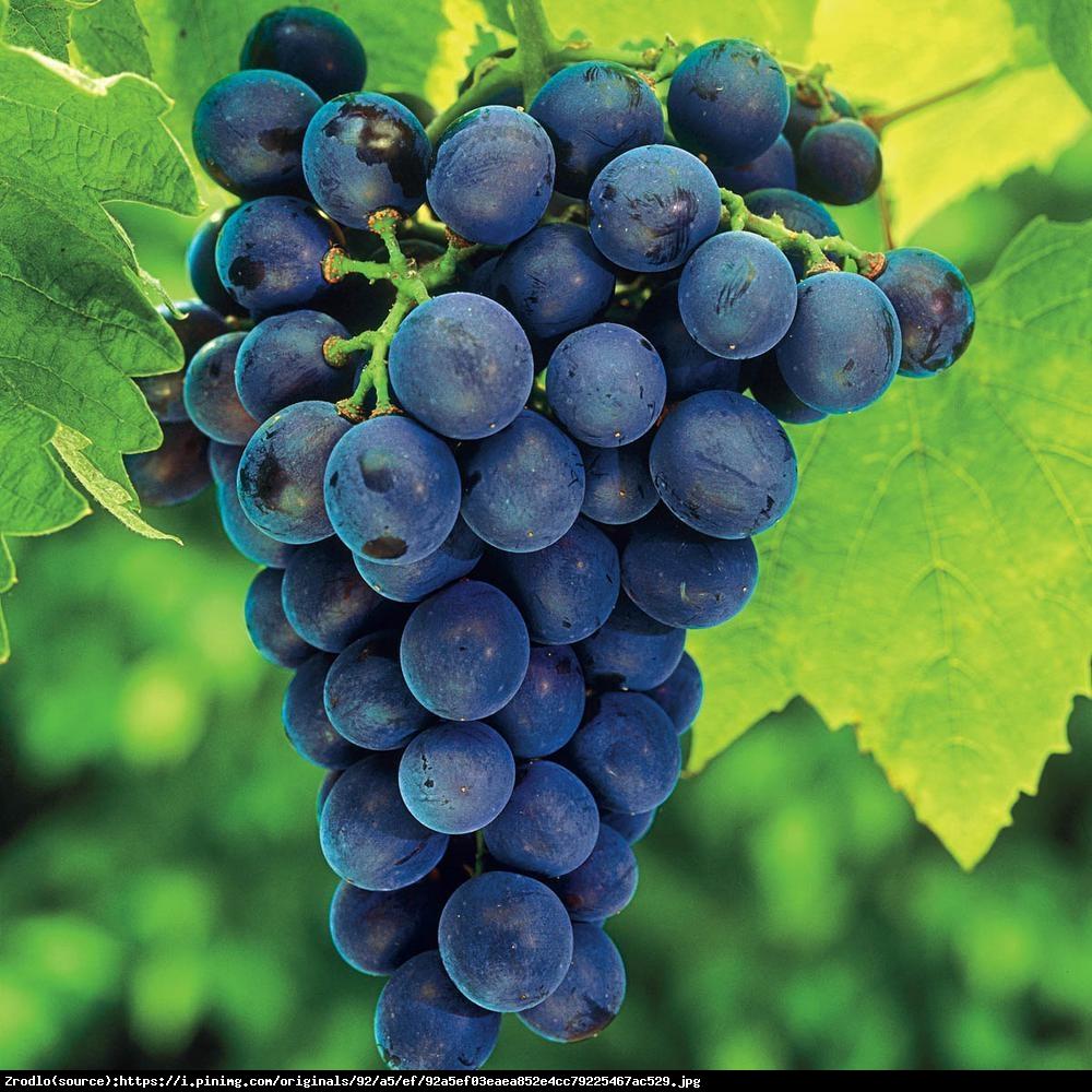 Winorośl Winogrono Concord Bezpestkowa - Vitis Concord