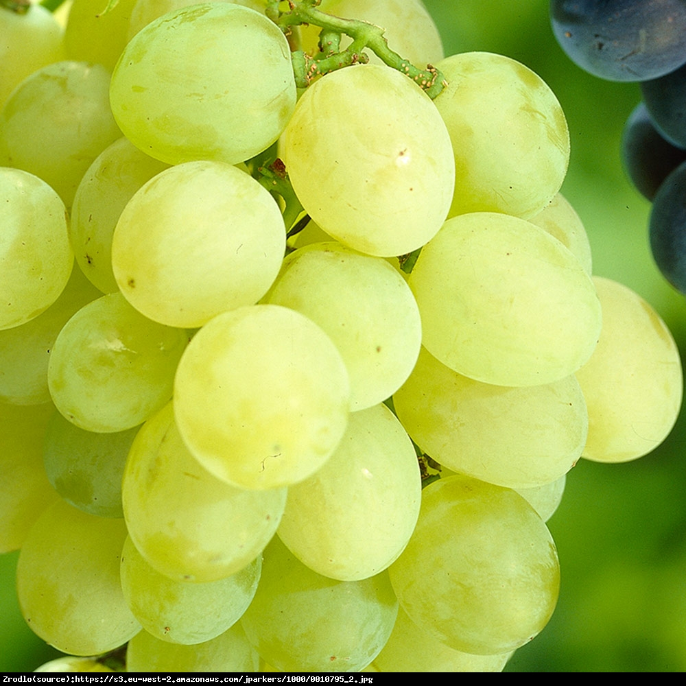 Winorośl Winogrono Himrod Bezpestkowe - Vitis Himrod
