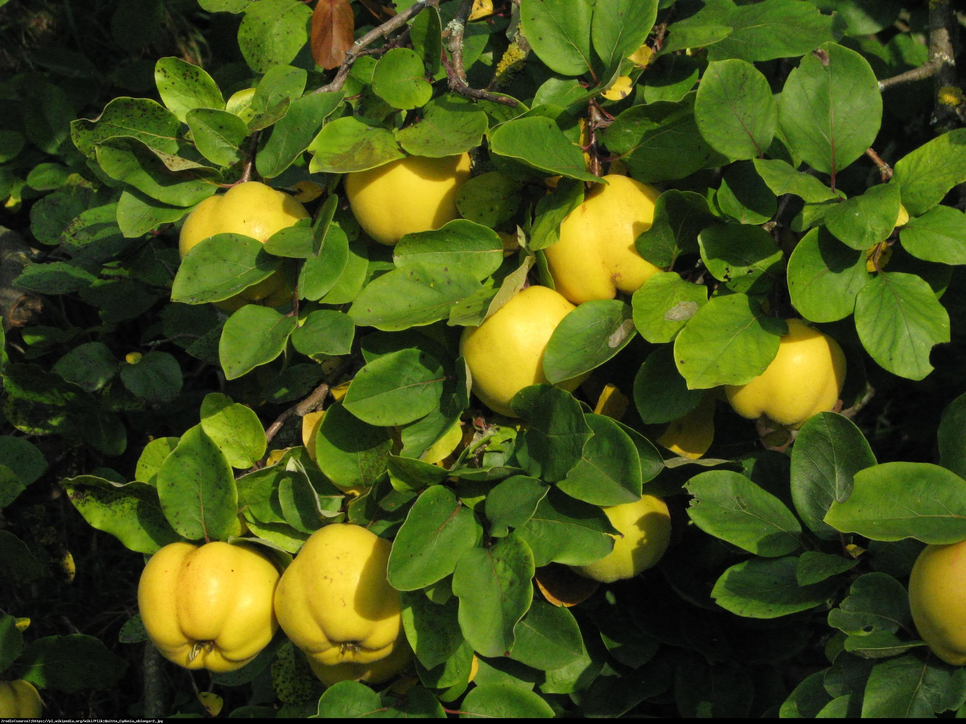 Pigwa wielkoowocowa jabłkowa - Cydonia oblonga