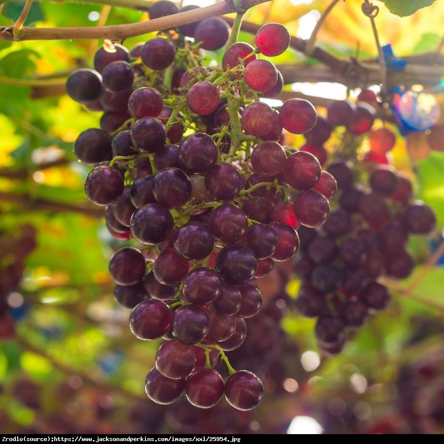 Winorośl Suffolk Red Bezpestkowa - Vitis Suffolk Red