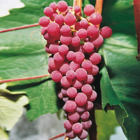 Winorośl Suffolk Red - Vitis Suffolk Red