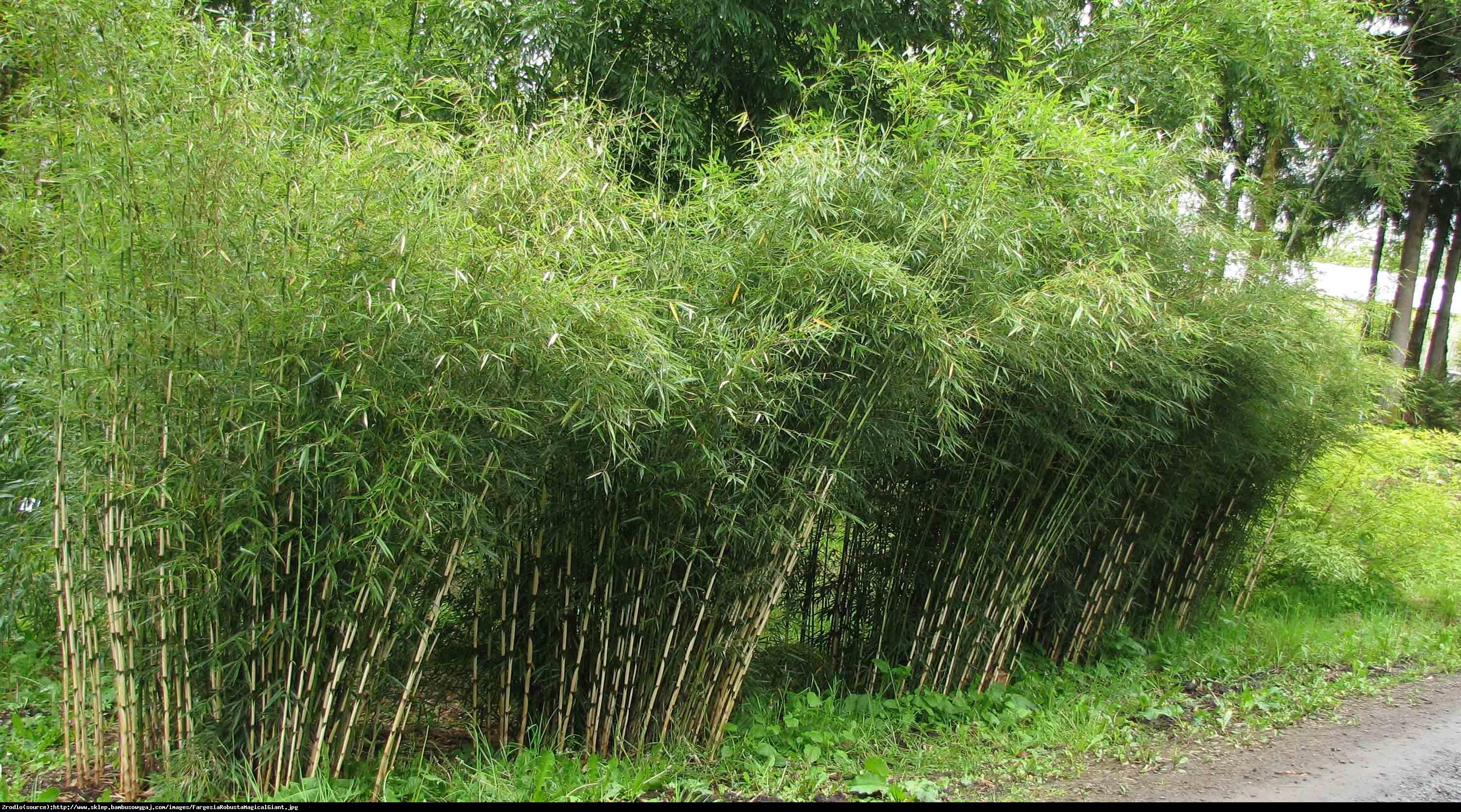 Bambus Dino - Fargesia murielae Dino