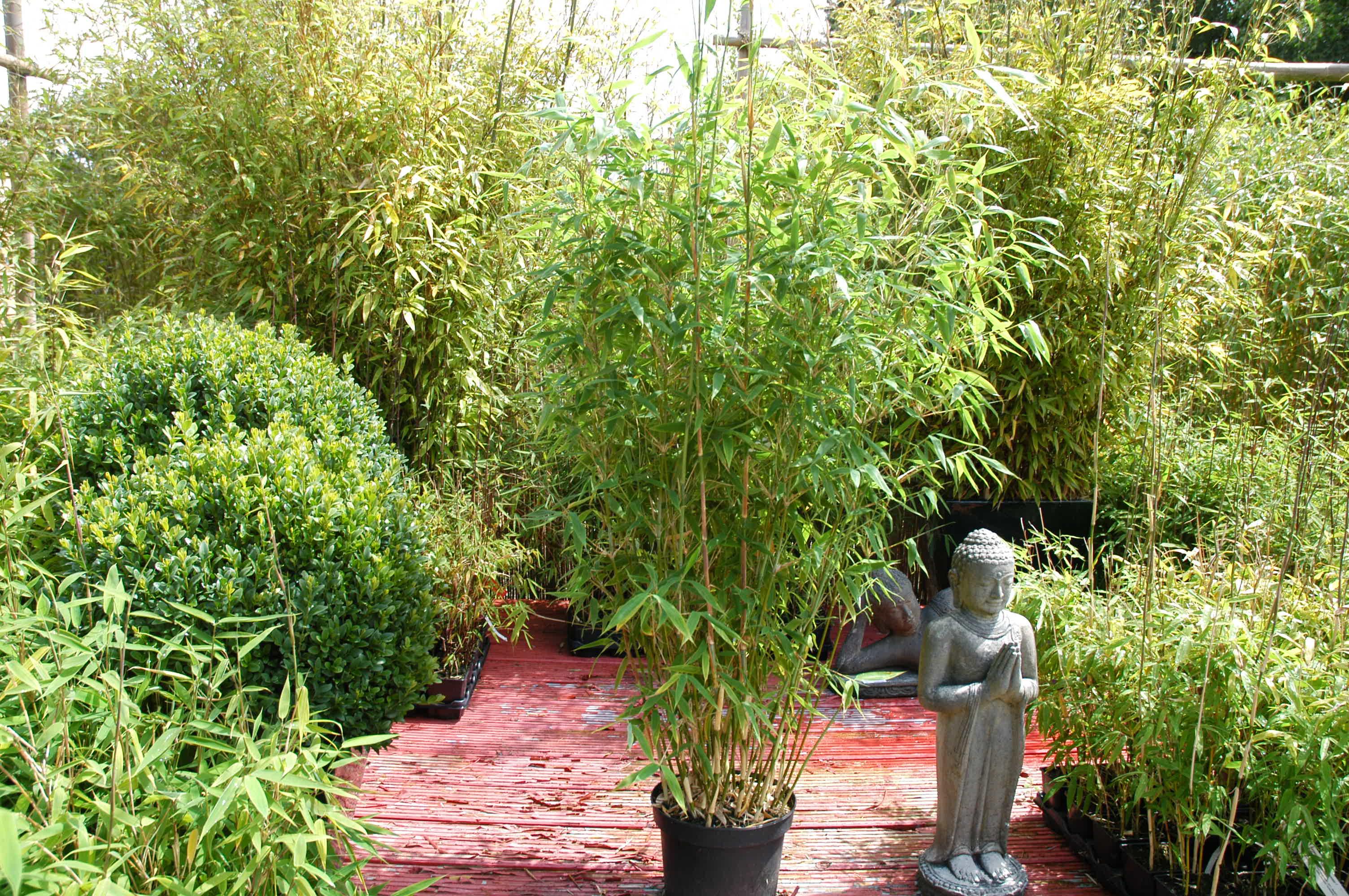 bambus dino fargesia murielae dino. Black Bedroom Furniture Sets. Home Design Ideas