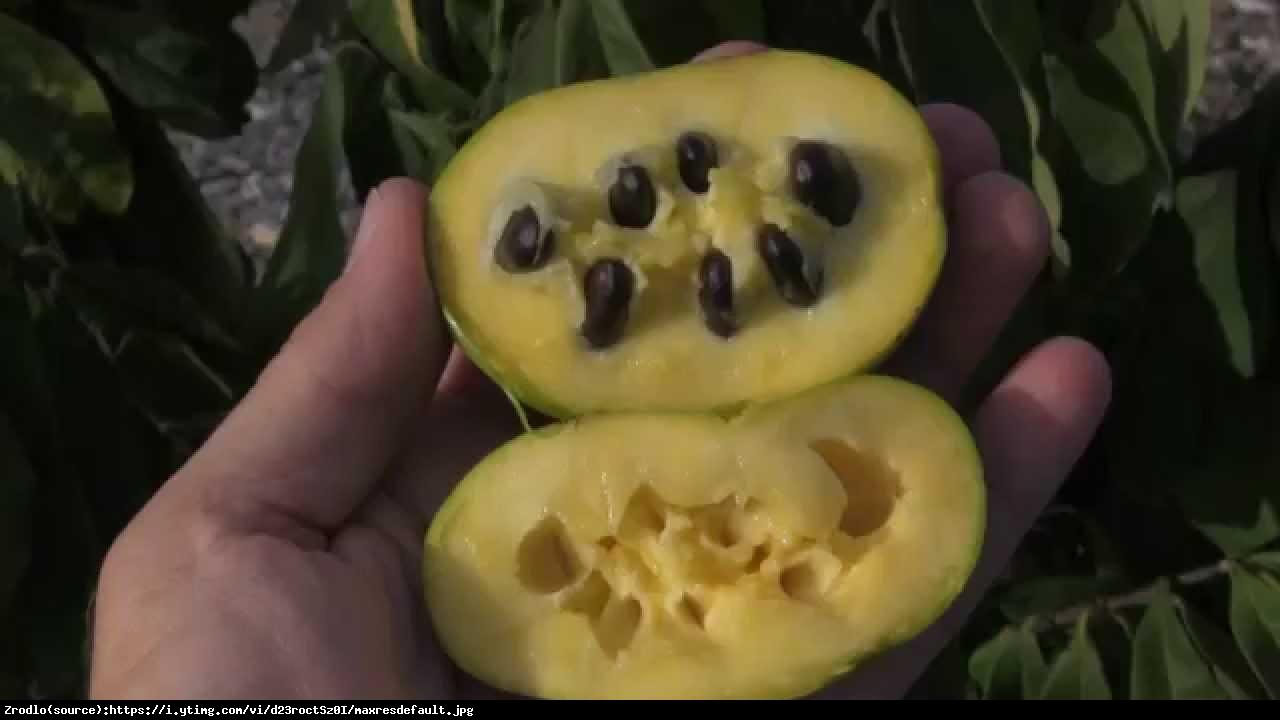 Urodlin trójłatkowy Belle - Asimina triloba Belle
