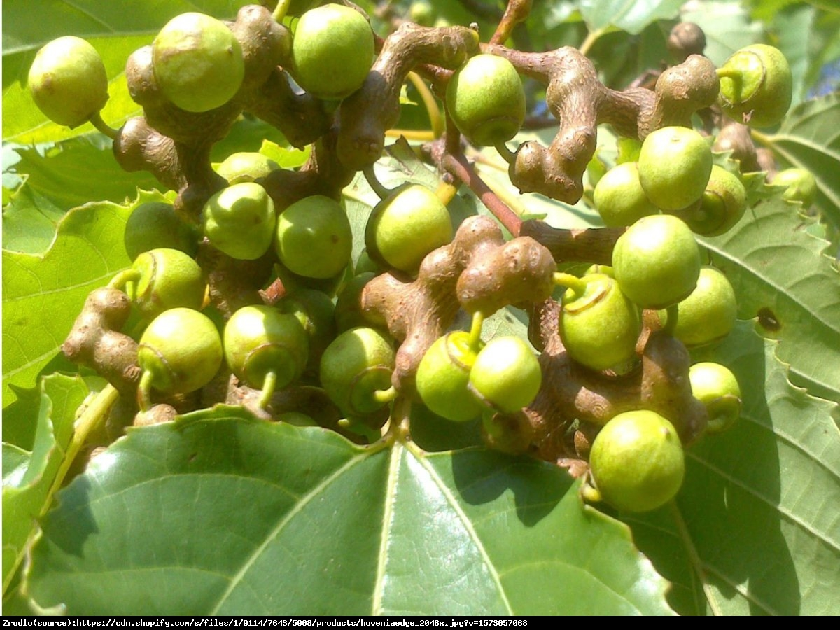 Japońskie Drzewo Rodzynkowe-Howenia słodka- Leczy Kaca, niweluje alkohol - Hovenia dulcis