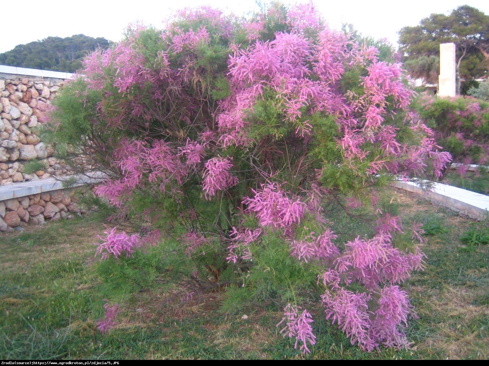 Tamaryszek pięciopręcikowy Pink Cascade - Tamarix ramosissima Pink Cascade