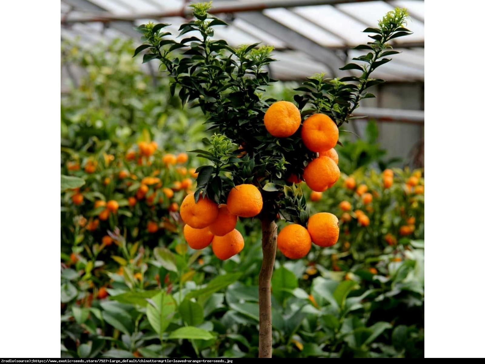 Pomarancza Sycylijska Chinotto  drzewko w owocami 70cm - Citrus Myrtifolia Chinotto