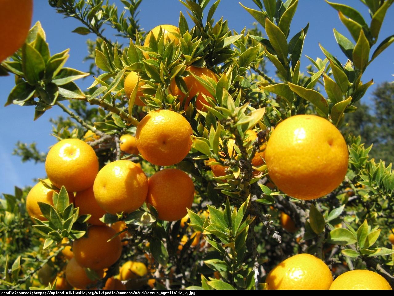 Pomarancza Sycylijska Chinotto  drzewko - Citrus Myrtifolia Chinotto