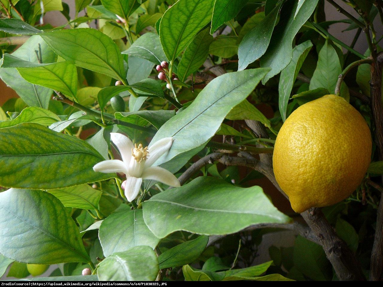 Cytryna Lunario drzewko w owocami 50cm - Citrus Limon