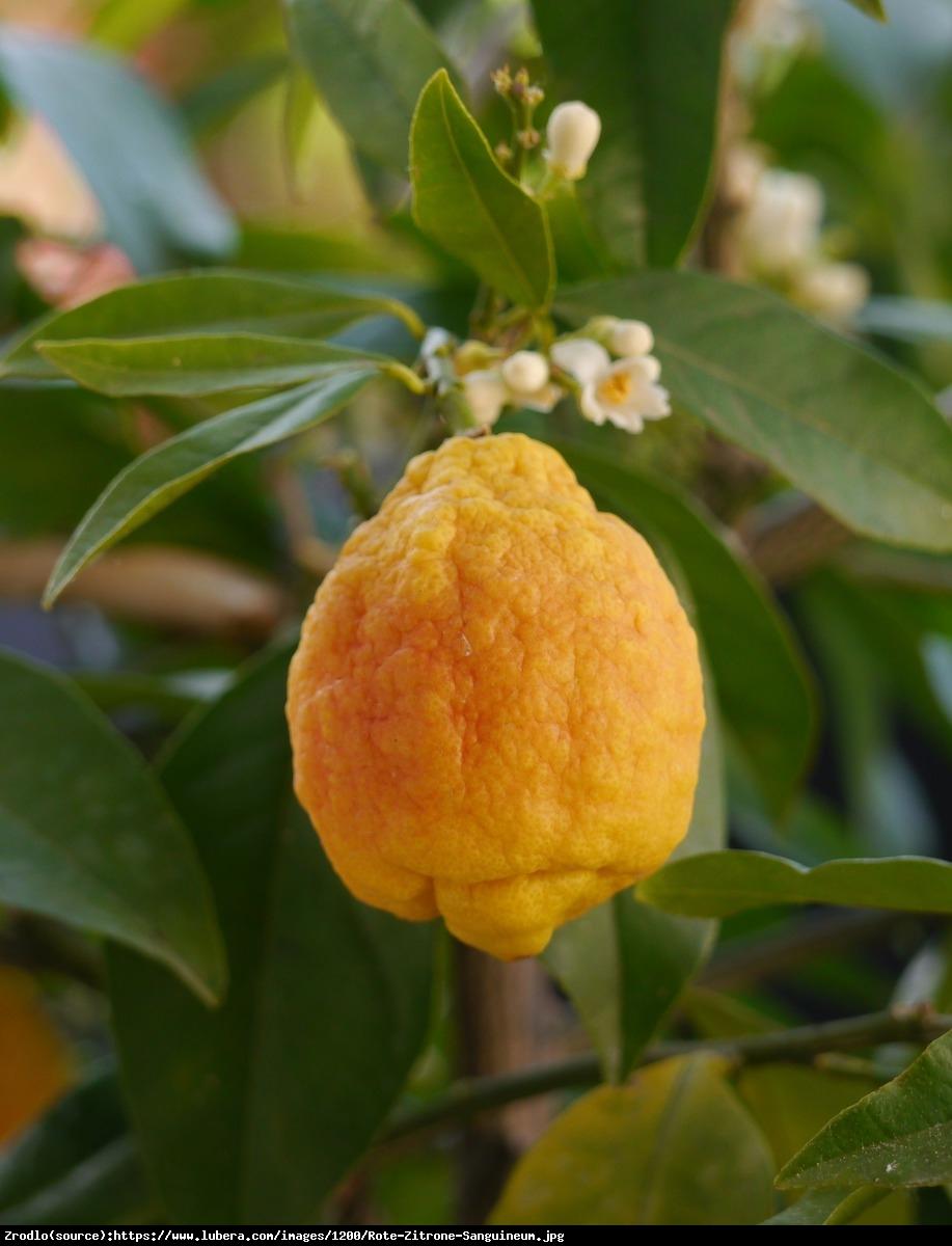 Cytryna Czerowan Limone Rosso drzewko z owocami 70cm - Citrus Limon Sanguineum (Limone Rosso)