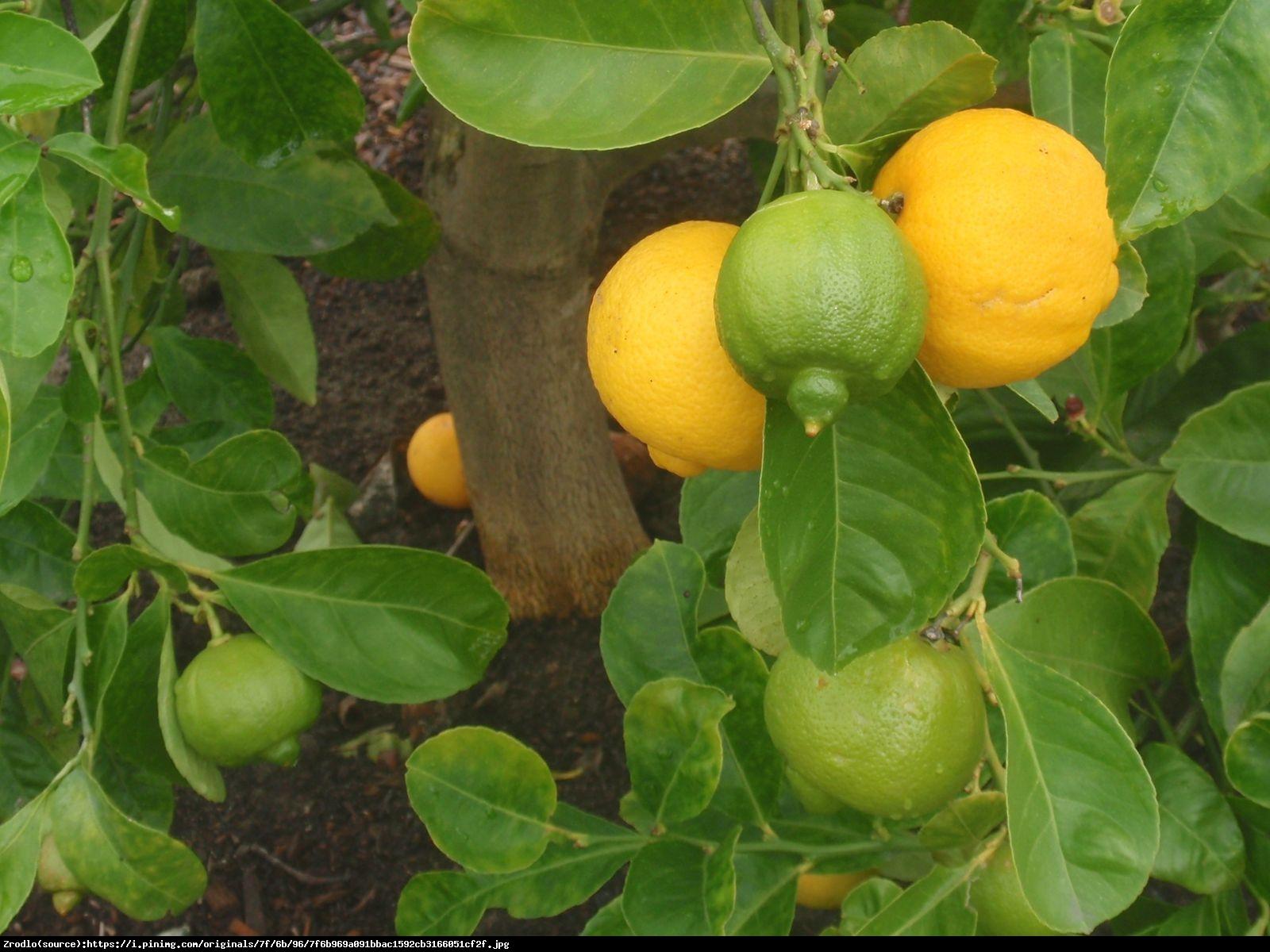 Limetta Rangpur drzewko 70cm - Limetta Rossa Di Rangpur (Citrus Limonia)