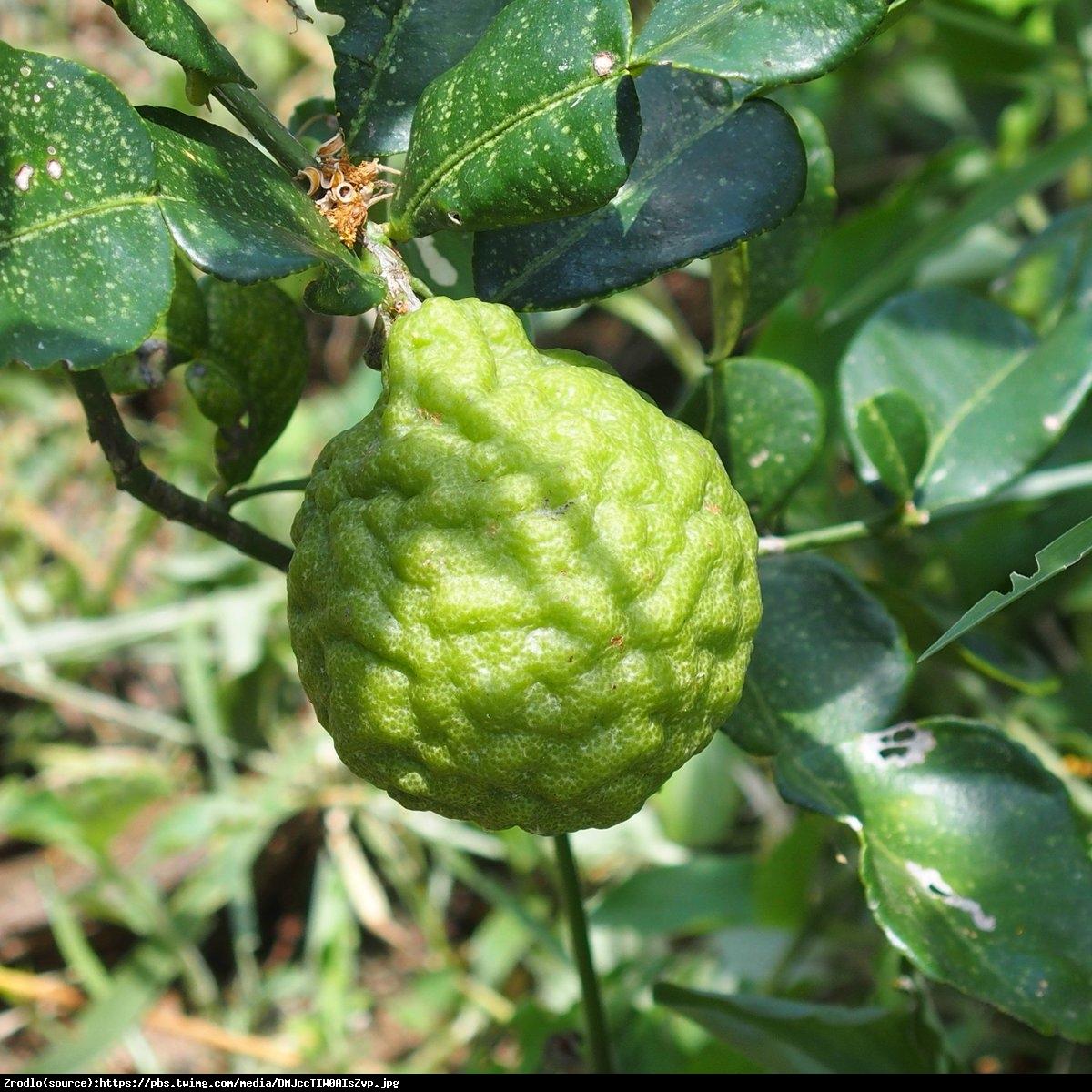 Kaffir Lime Cytrus - Skrzydła Anioła Hystrix drzewo 70cm - Citrus hystrix - papeda