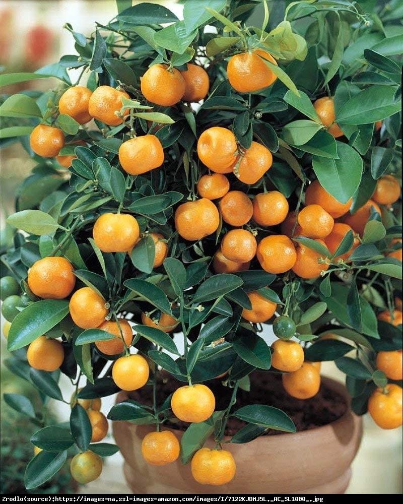 Kalamondyna cytrus drzewo 70cm - Citrus Mitis