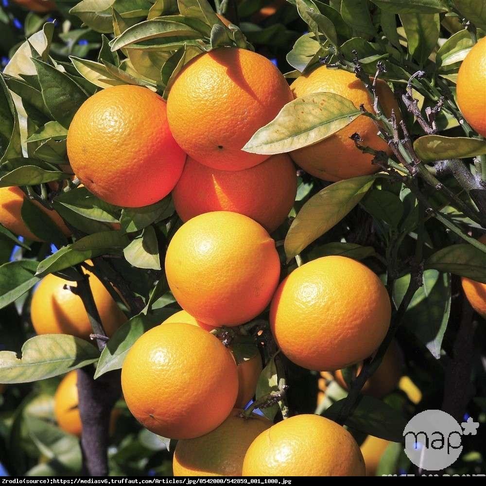 Pomarańcza cytrus drzewko 70cm - Citrus sinensis arancio