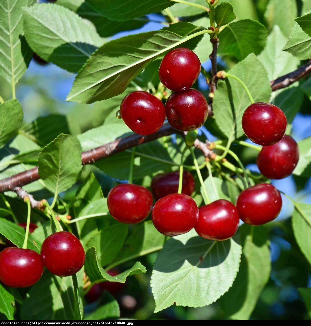 Wiśnia Karłowa Carmine Jewel Prunus Carmine Jewel