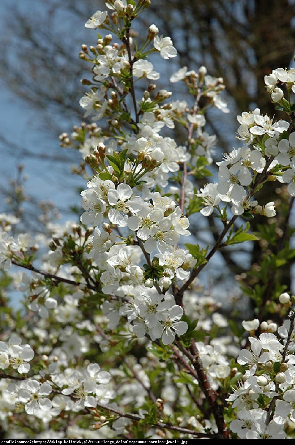 Wiśnia karłowa Carmine Jewel - Prunus Carmine Jewel