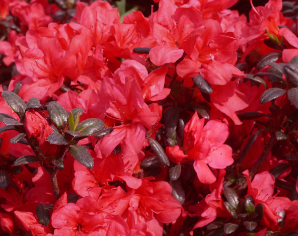 Azalia japońska Maruschka - Rhododendron Maruschka