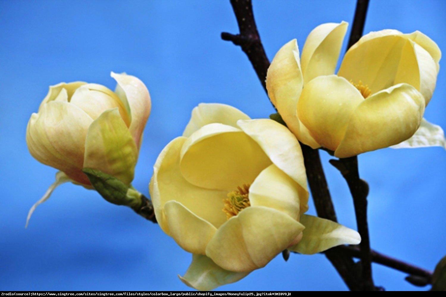 Magnolia Honey Tulip - Magnolia Honey Tulip