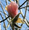 Magnolia PEACHY - Magnolia PEACHY