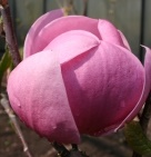 Magnolia Brixton Belle - Magnolia Brixton Belle