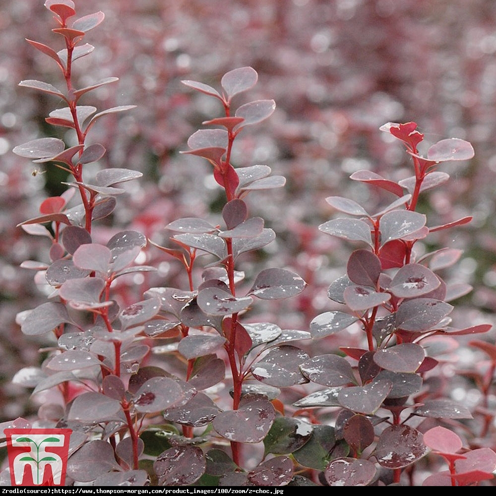 Berberys Thunberga Chocolate Summer - Berberis thunberii Chocolate Summer